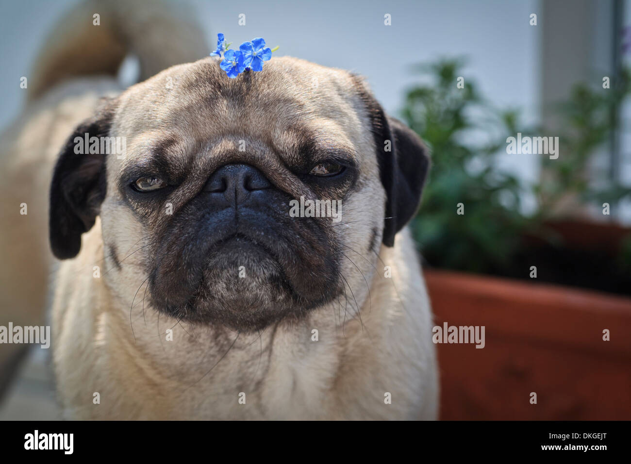 Female pug dog with flower on head - Stock Image