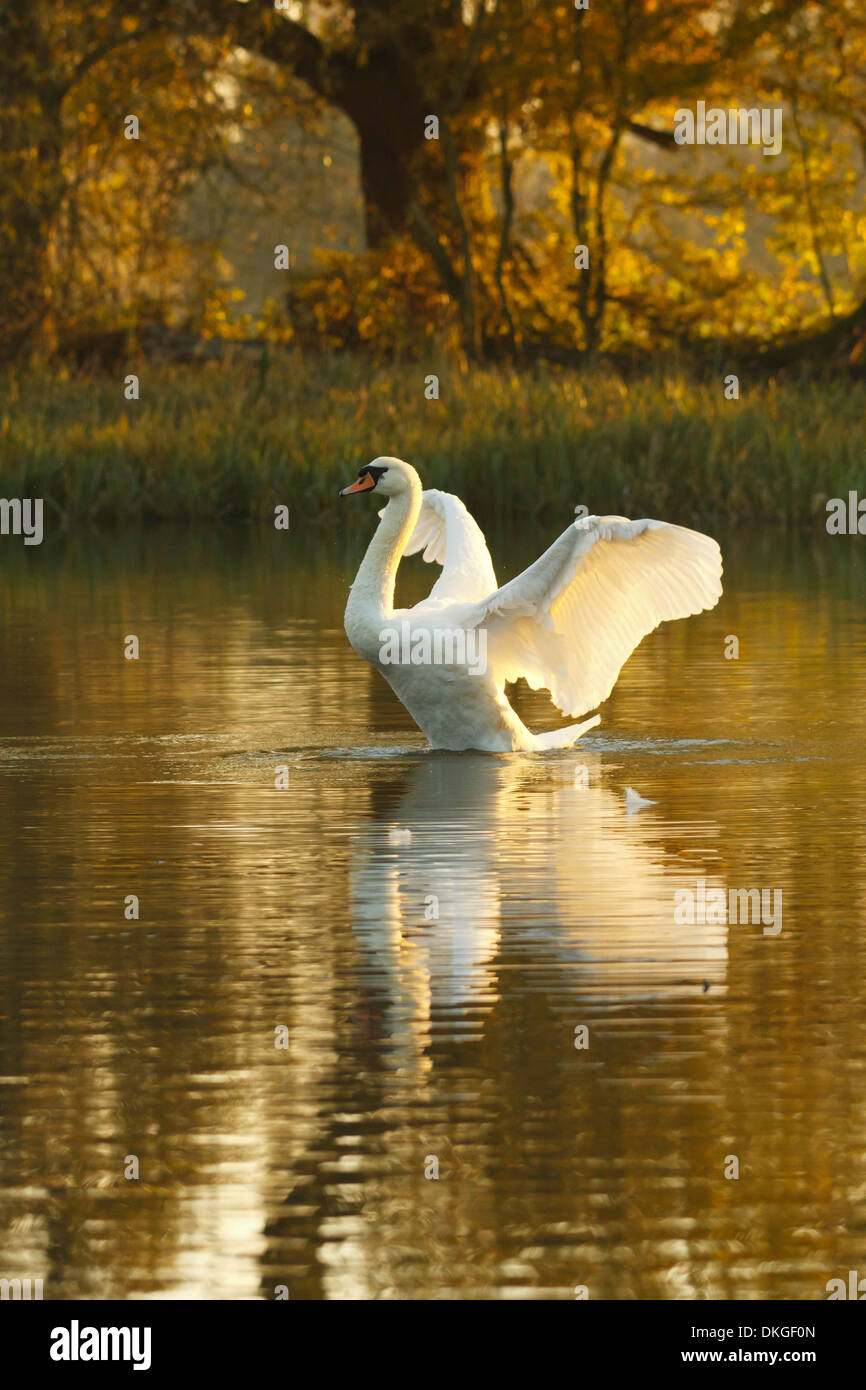 Mute swan at golden hour - Stock Image