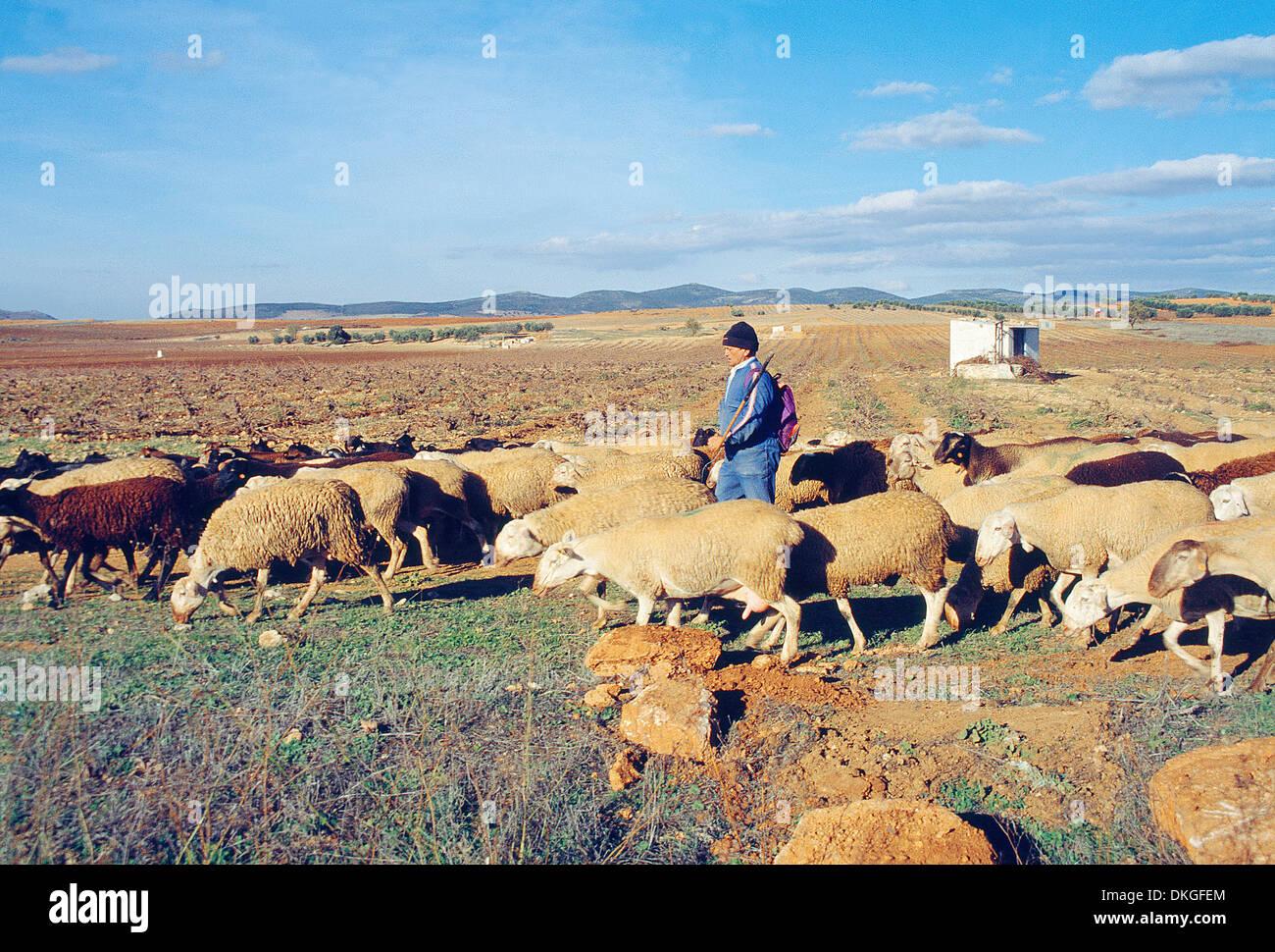Shepherd and his flock of sheep. Villanueva de los Infantes, Ciudad Real province, Castilla La Mancha, Spain. - Stock Image