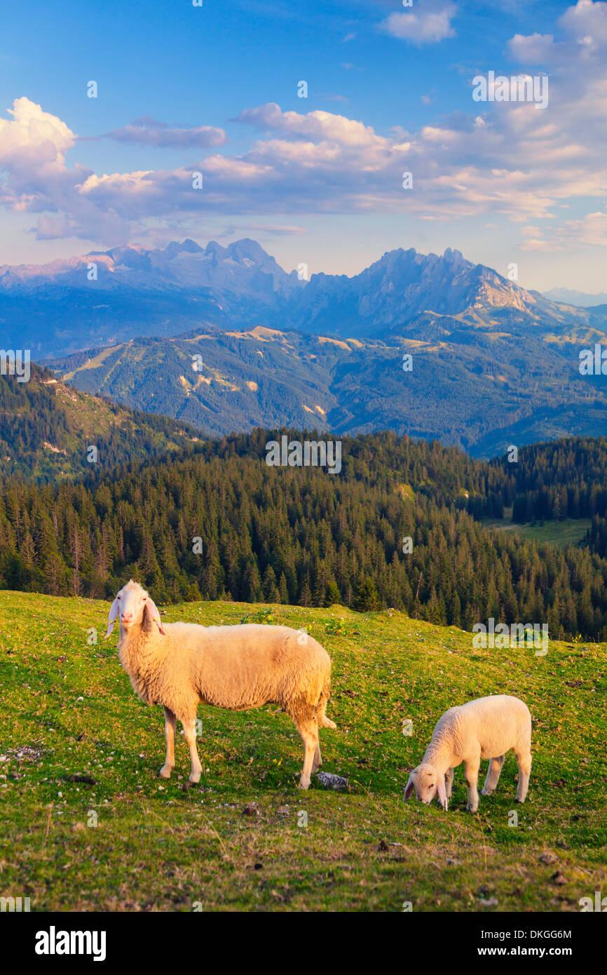 Sheep on alpine pasture above the Lammertal, Austria Stock Photo