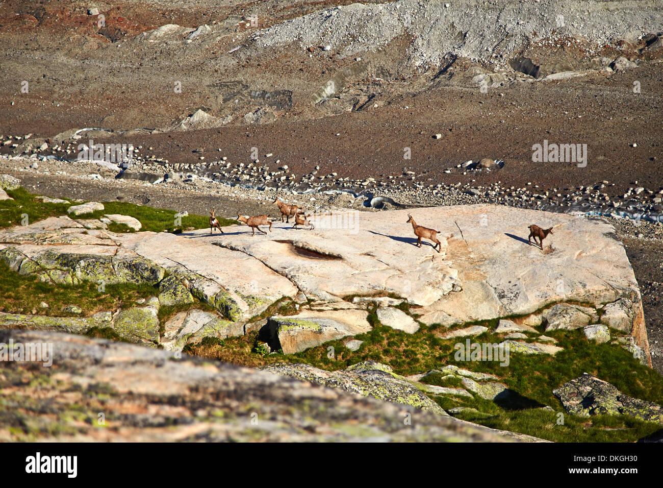 Chamois at the Salzlecke, Bernese Oberland, Switzerland Stock Photo
