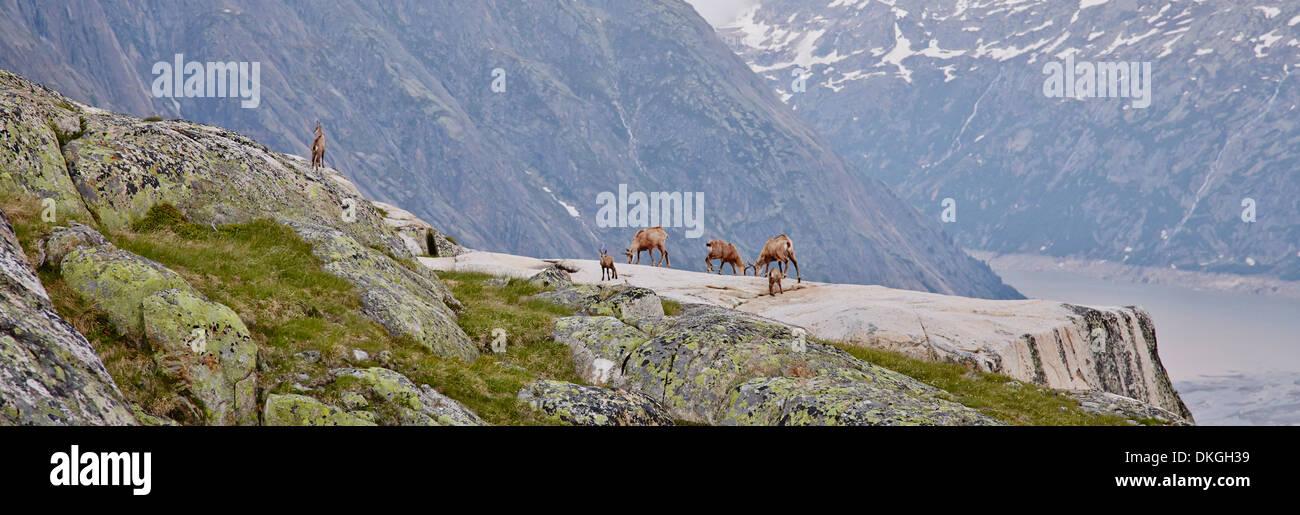 Chamois at the Salzlecke at Lake Grimsel, Bernese Oberland, Switzerland Stock Photo