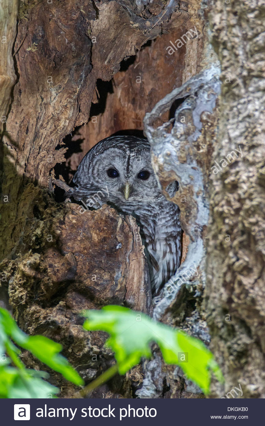 A barred owl (Strix varia) rests on its nest in a decaying tree in Interlaken Park, Seattle, Washington. - Stock Image