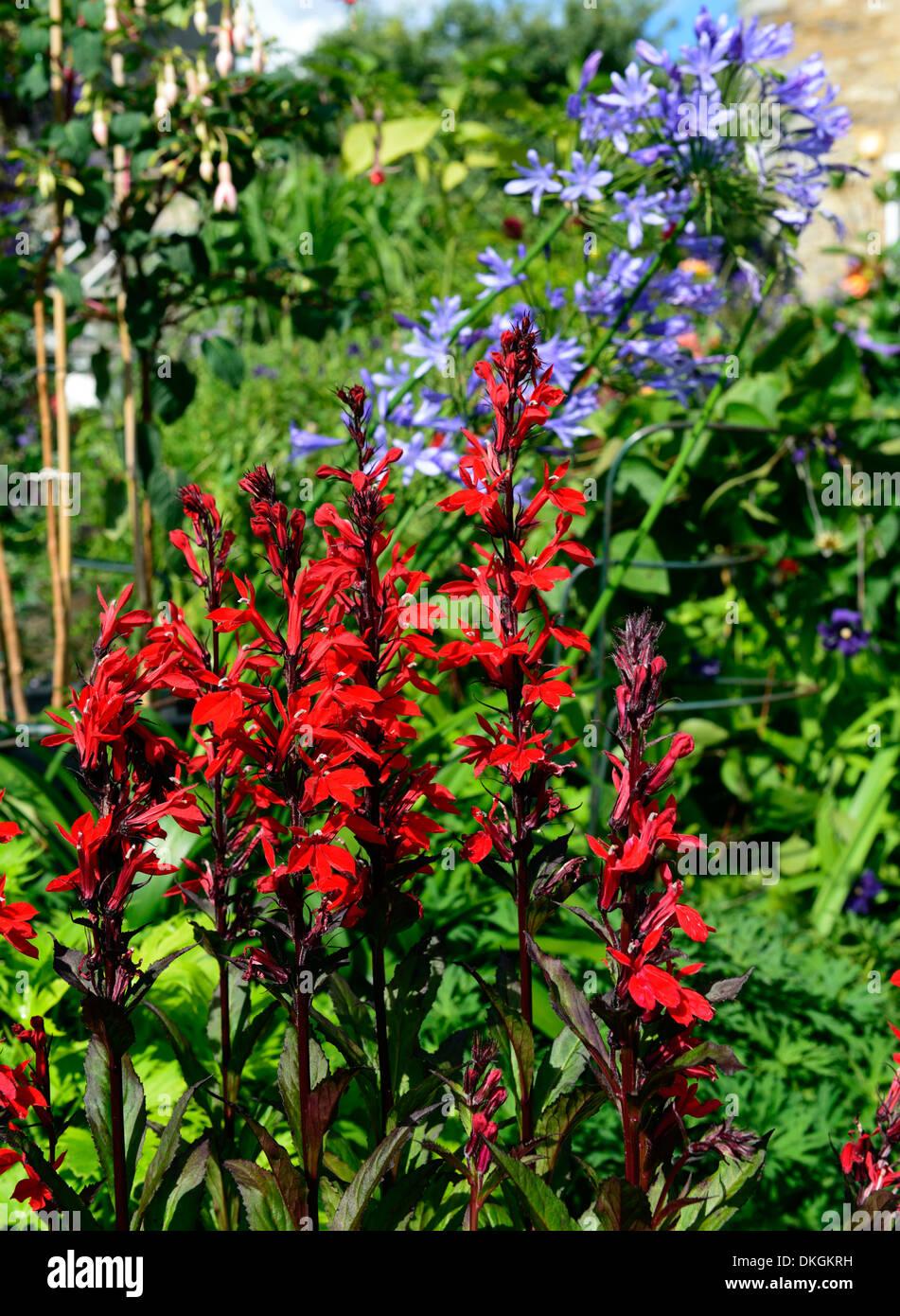 red lobelia blue agapanthus mixed bed border planting scheme ...