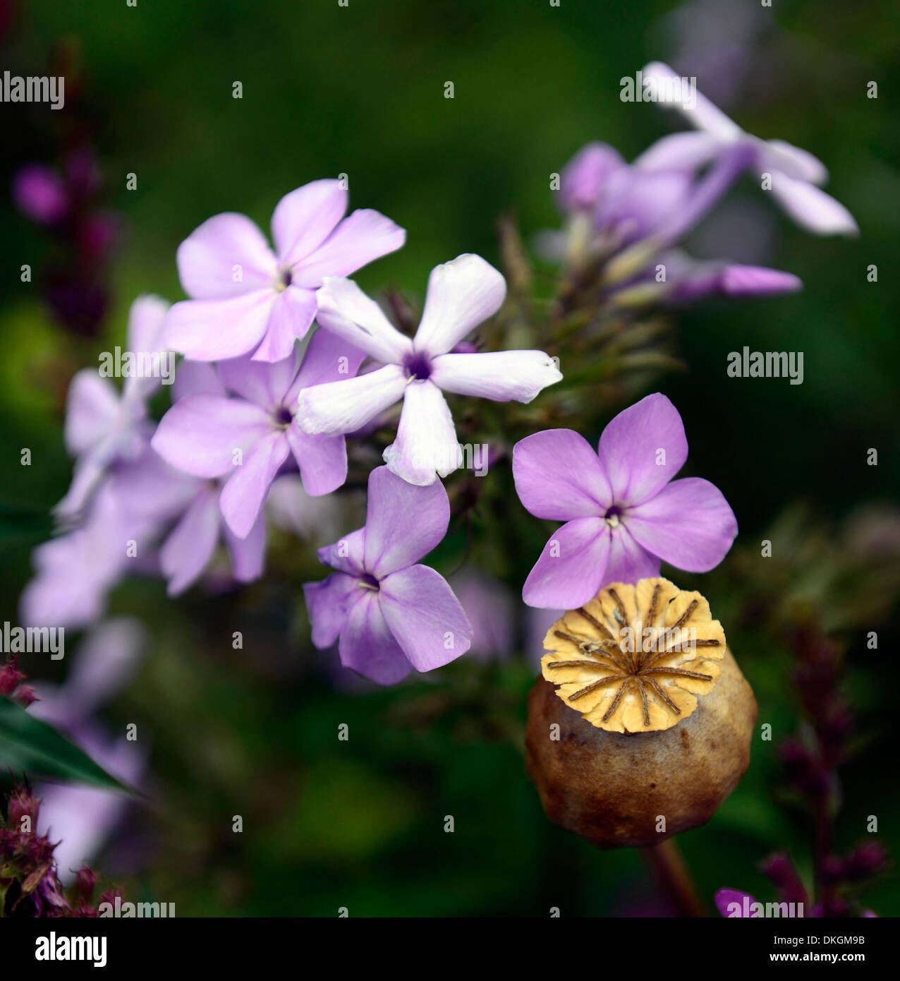 pink white phlox fowers poppy seedhead contrast contrasting - Stock Image