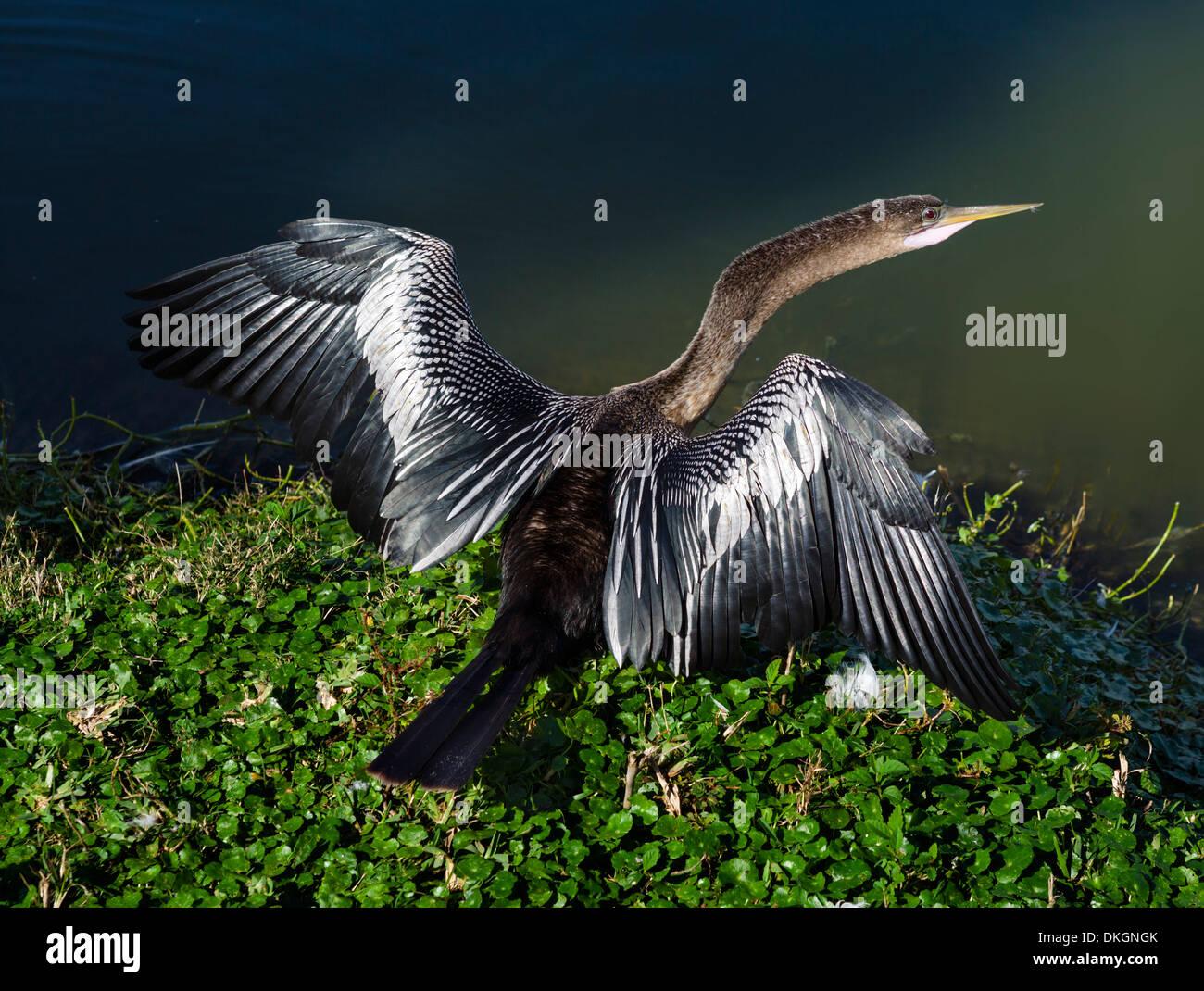 Anhinga (Anhinga anhinga) drying it's wings in the sun on the shores of Lake Morton, Lakeland, Polk County, Central Florida, USA - Stock Image