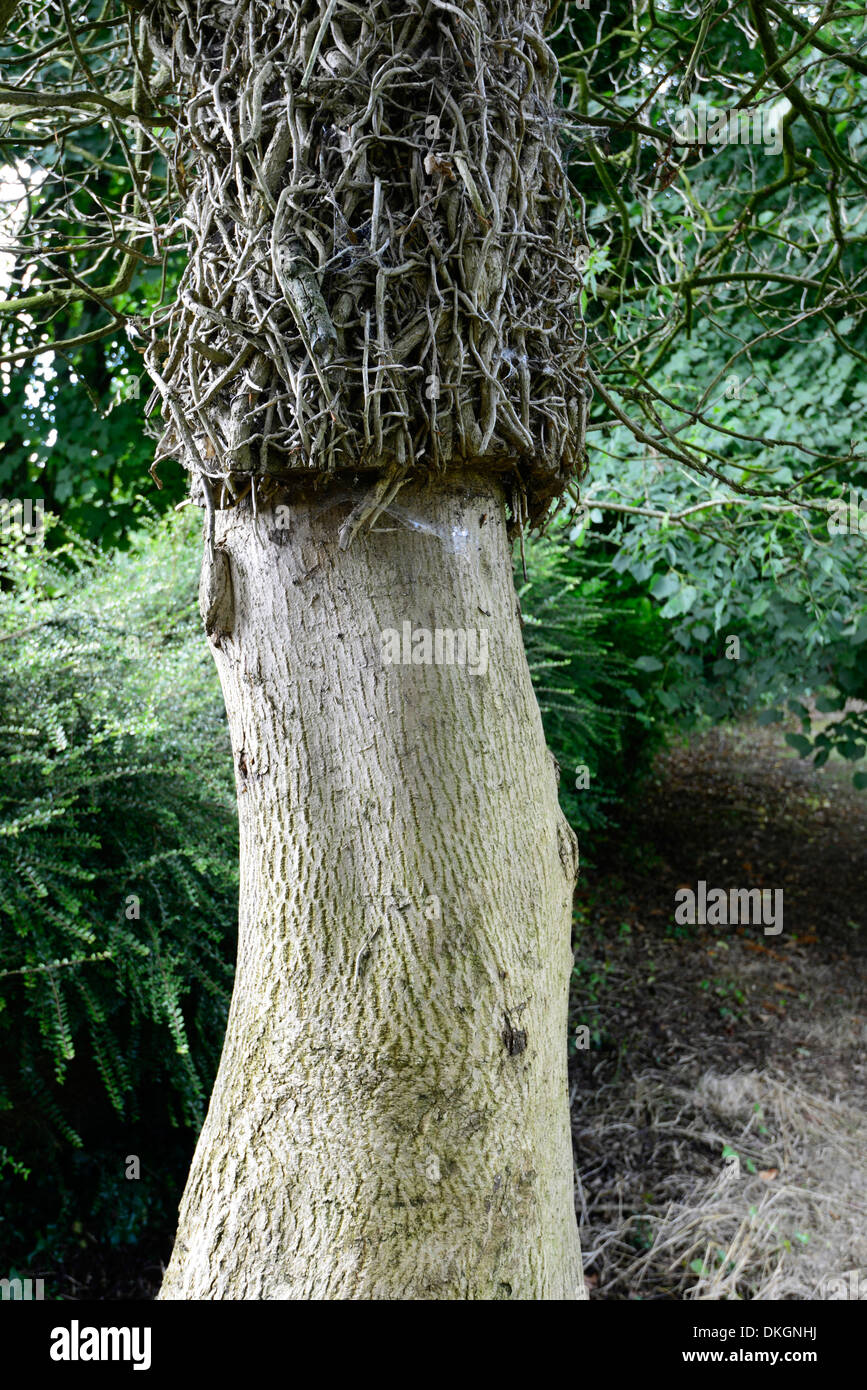 tree trunk with cut back ivy creepers cover strangle clean up tree surgeon surgery - Stock Image