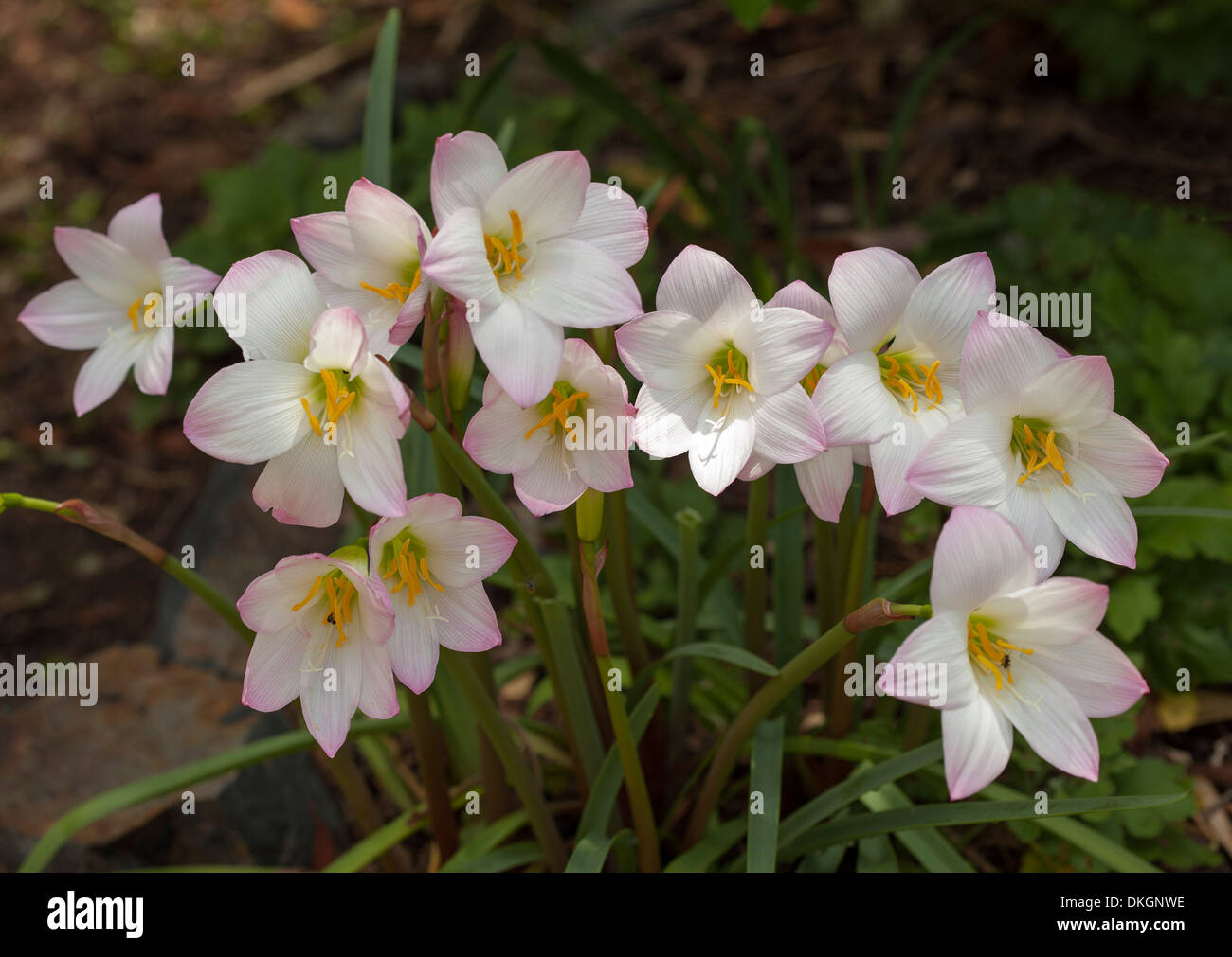 Cluster of pink and white flowers and dark green leaves of cluster of pink and white flowers and dark green leaves of habranthus robustus rain lily spring summer flowering bulbs mightylinksfo