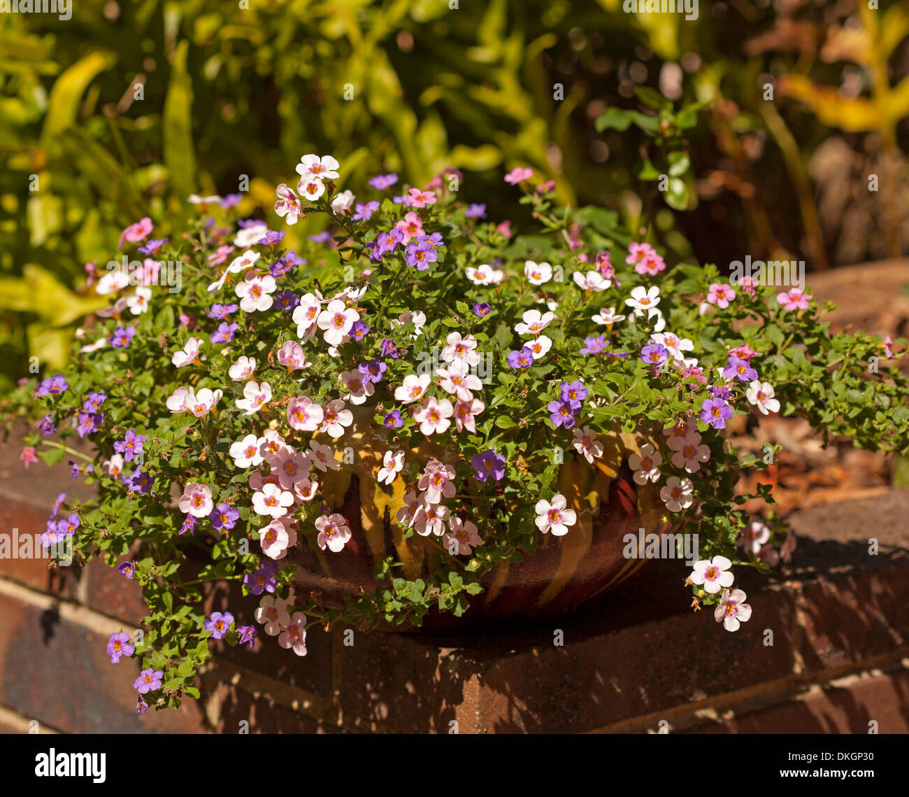 Sutera Cordata Flowering Perennial With Masses Of Pink Mauve And