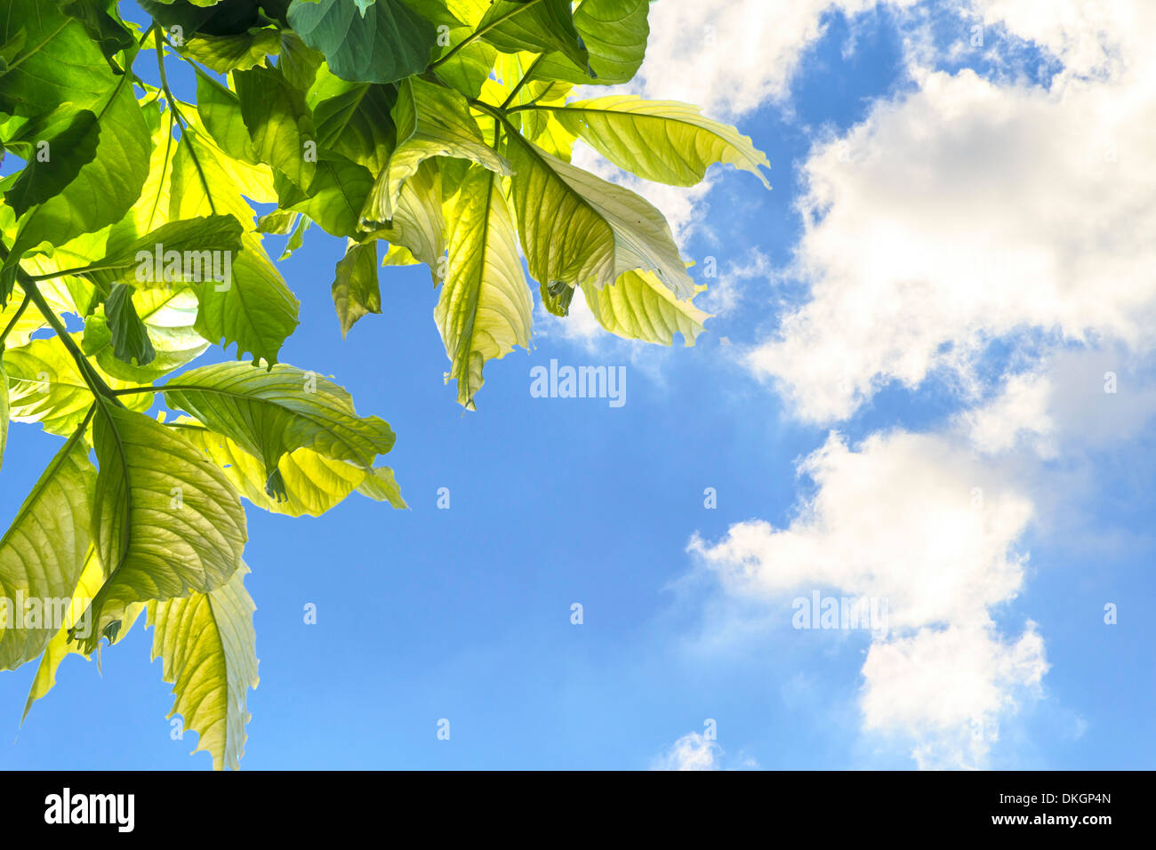 Leaves Of Garden Tree on blue sky and clound - Stock Image