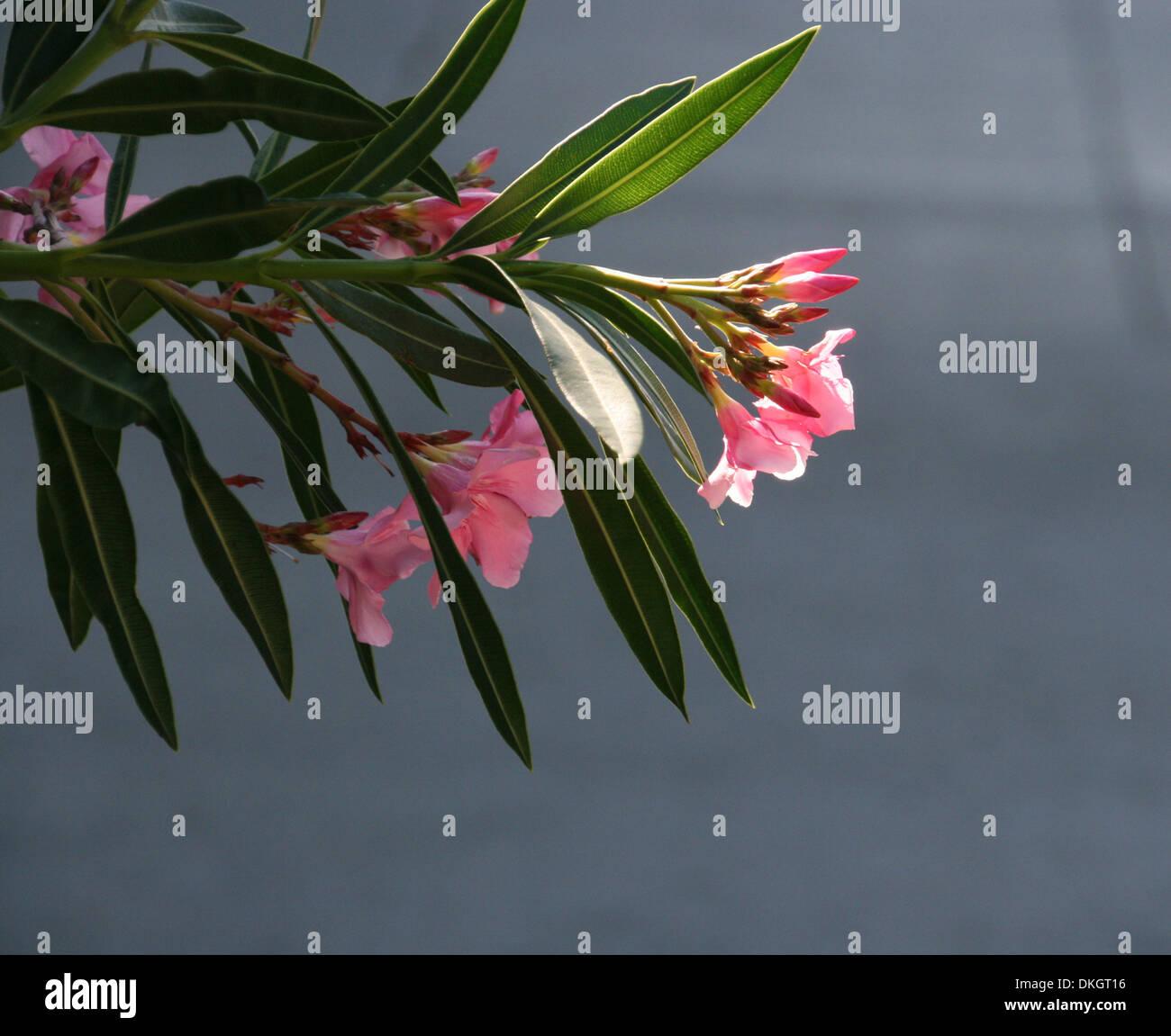 Pink oleander with backlighting - Stock Image