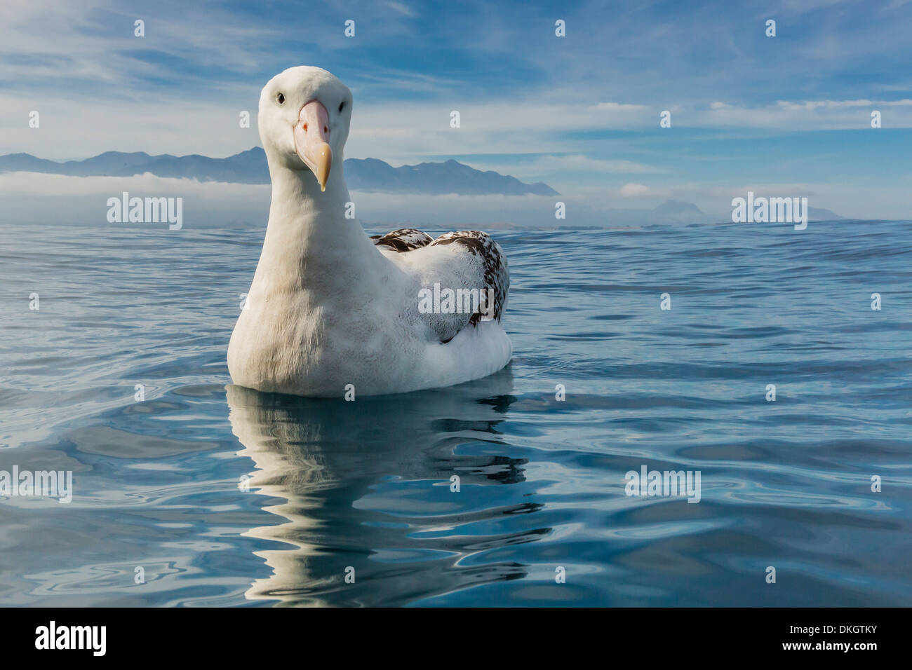 Wandering albatross (Diomedea exulans) in calm seas off Kaikoura, South Island, New Zealand, Pacific - Stock Image