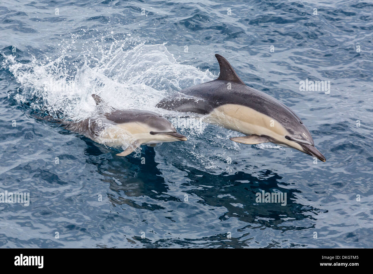 Long-beaked common dolphin (Delphinus capensis) leaping near White Island, North Island, New Zealand, Pacific - Stock Image