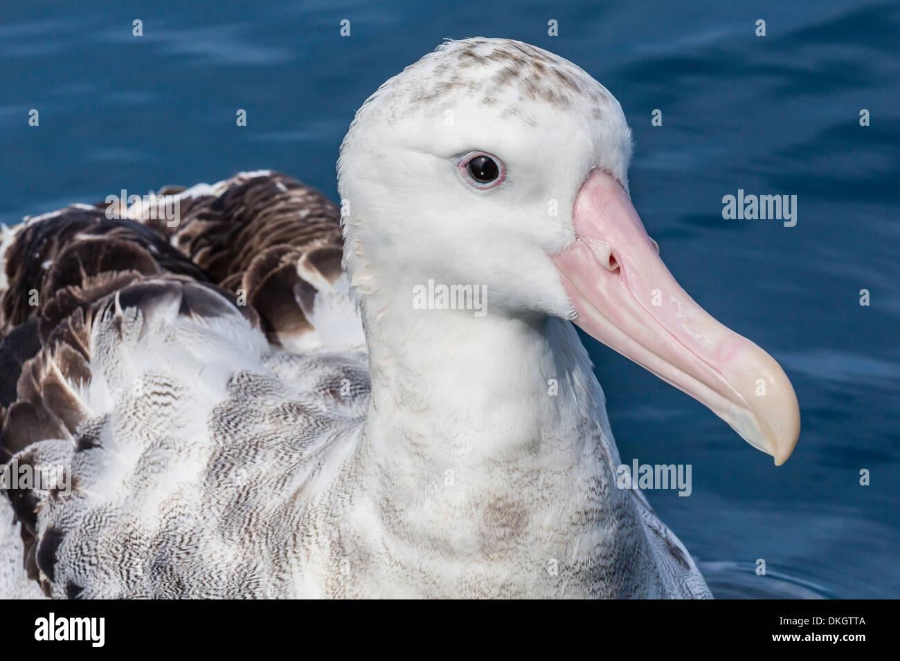 Wandering albatross, Diomedea exulans, in calm seas off Kaikoura, South Island, New Zealand - Stock Image