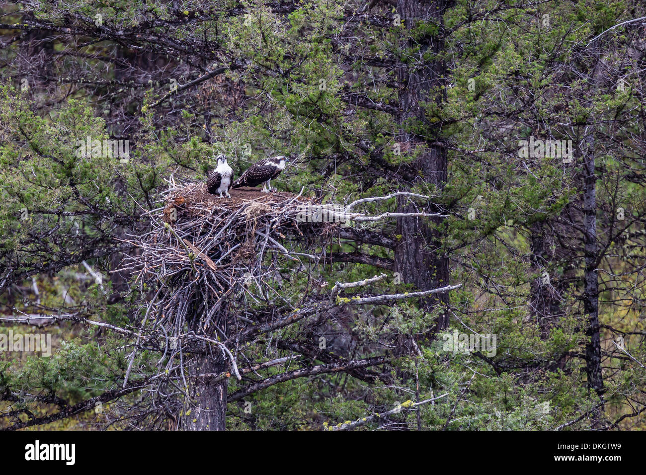 Osprey (Pandion haliaetus) fledglings on nest, Yellowstone National Park, UNESCO World Heritage Site, Wyoming, USA - Stock Image