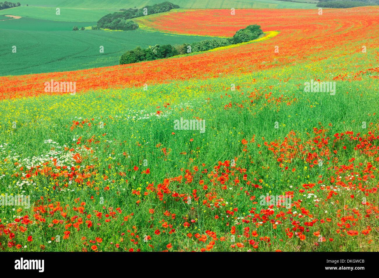Red Poppies field, Cote d'Opale, Region Nord-Pas de Calais, France - Stock Image