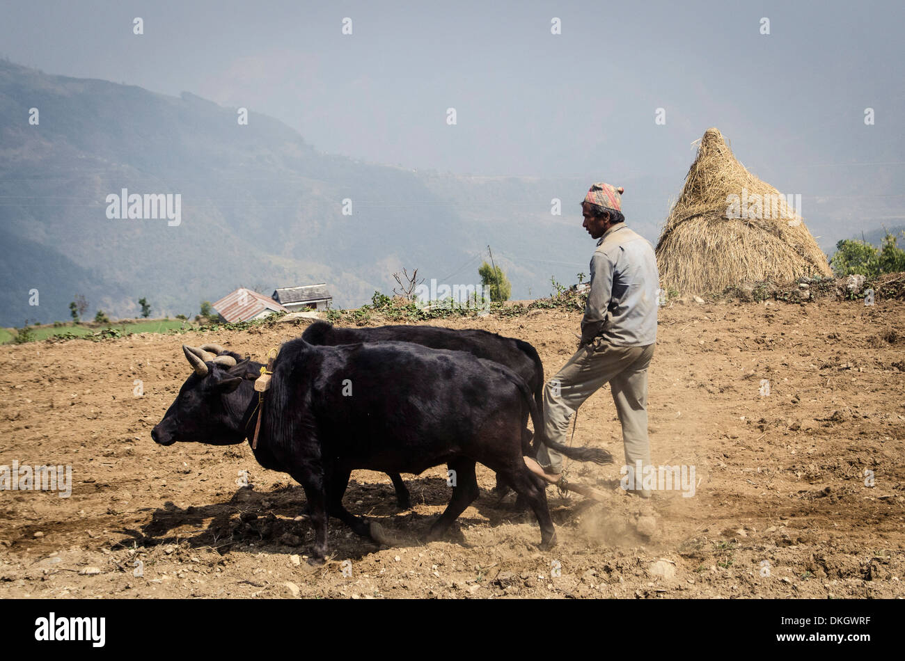 A man ploughs his terraced-field, Dhampus, Annapurna Conservation Area, Nepal, Asia - Stock Image