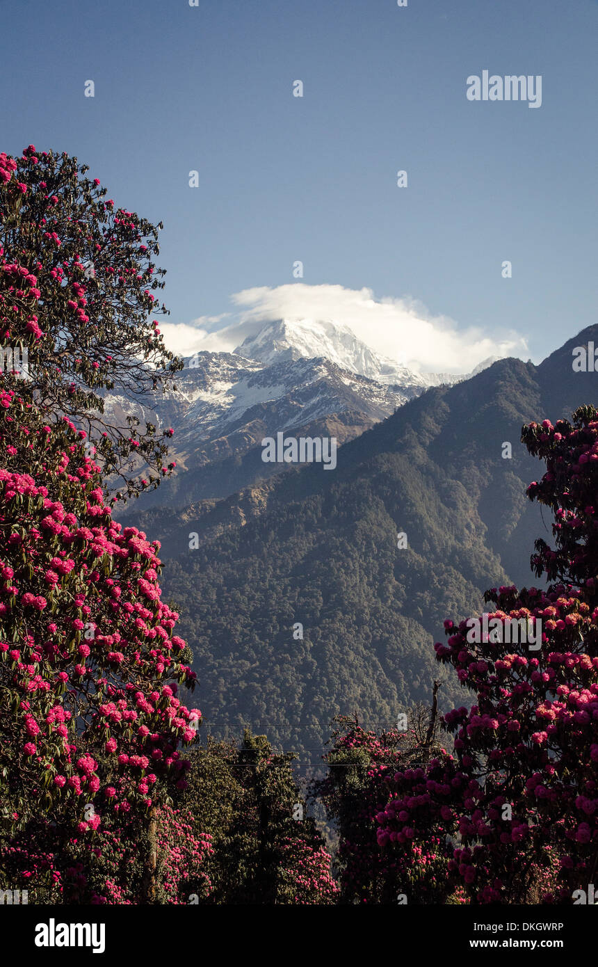Annapurna South, framed by rhododendron trees (Rhododendron arboreum), Ghorepani, Annapurna Conservation Area, Nepal, Himalayas - Stock Image