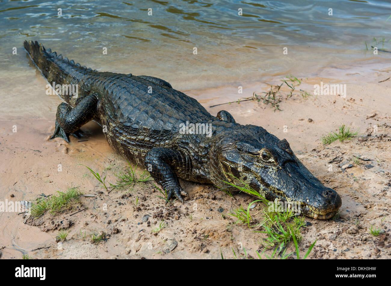 Alligator (Yacare caiman), Pantanal Conservation Area