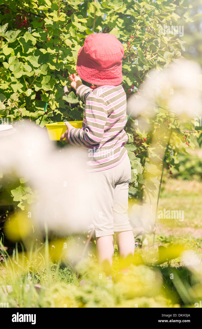 Back view of young child standing in garden picking redcurrants from a bush. - Stock Image