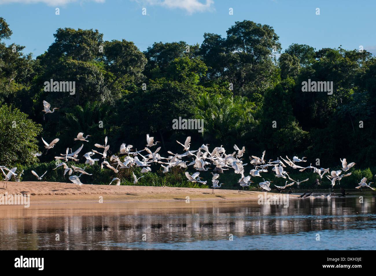 Flocks of Graza Mora, Pantanal Conservation Area, UNESCO World Heritage Site, Brazil, South America - Stock Image