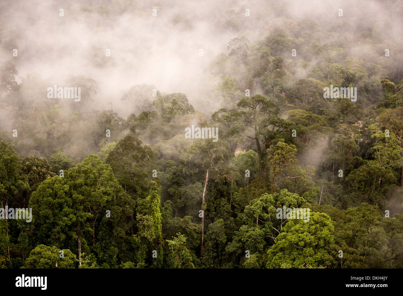 Rain mist rising from the forest canopy in Danum Valley, Sabah, Malaysian Borneo, Malaysia, Southeast Asia, Asia - Stock Image