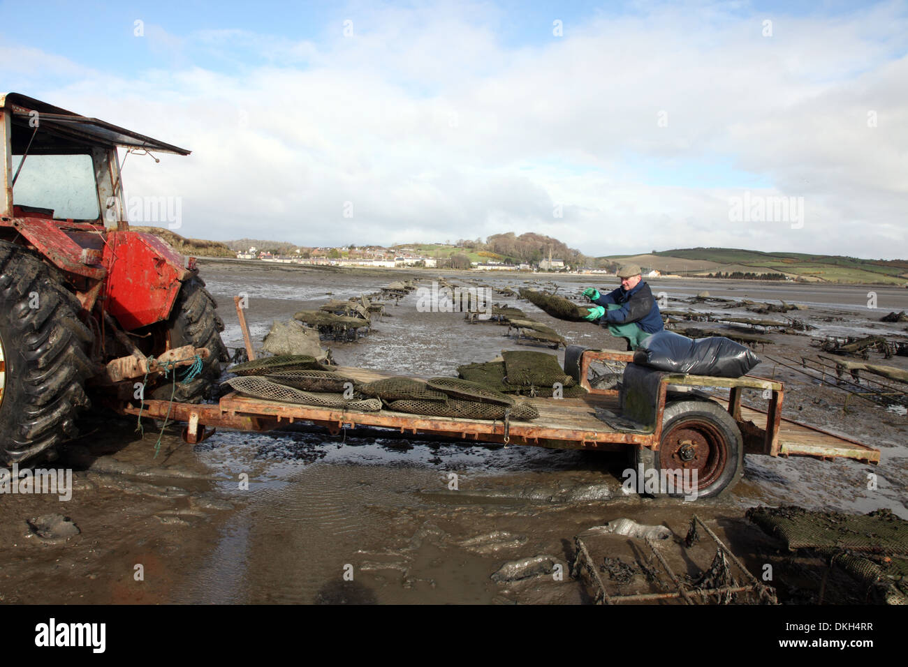 Oyster farmer Robert Graham harvesting Dundrum Bay Oysters, Co. Down, Northern Ireland - Stock Image