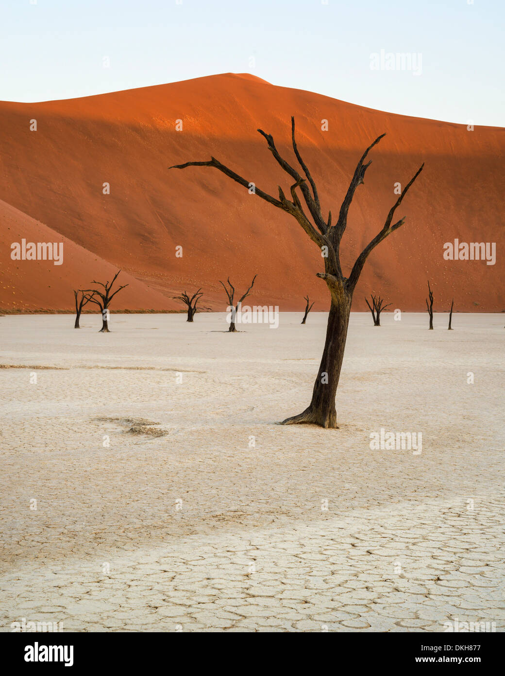 Camelthorn trees in the clay pans of Deadvlei with Big Daddy dune towering above, Namib Naukluft, Namibia, Africa - Stock Image