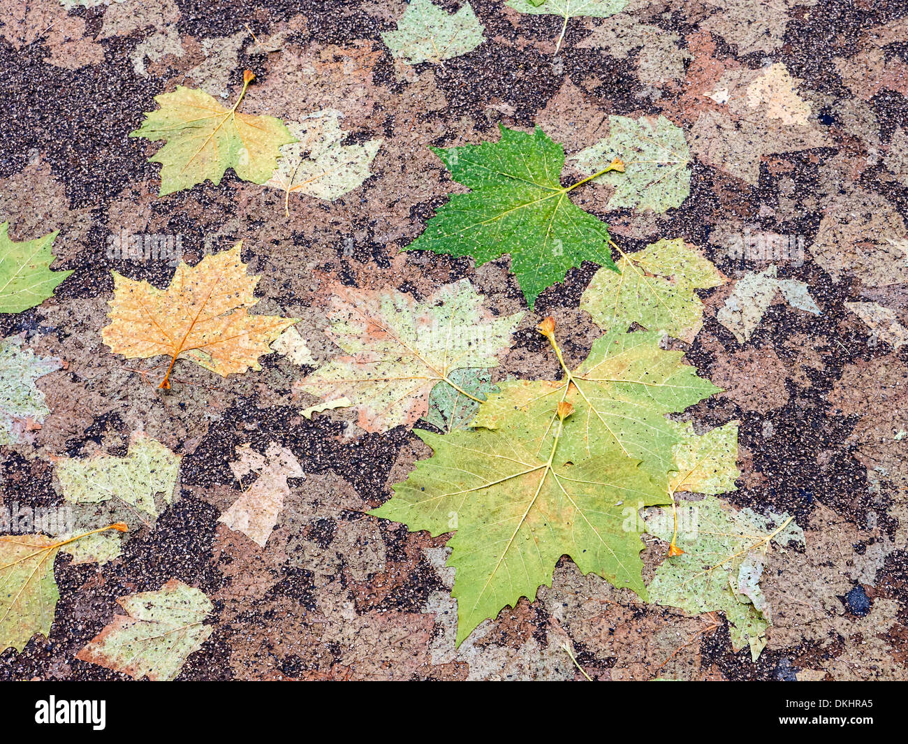 Squashed and flattened autumn leaves form a colourful pattern on a tarmac street - Stock Image