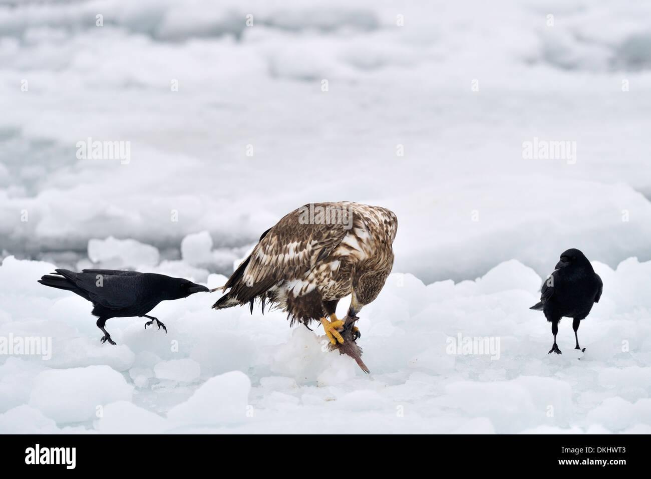 Crows (Corvus corone) tryng to steel food from White-tailed Sea Eagle (Haliaeetus albicilla), Rausu, Hokkaido, Japan. Stock Photo