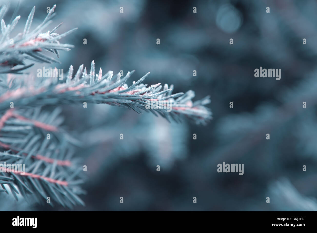 winter nature background,spruce twig in hoarfrost - Stock Image