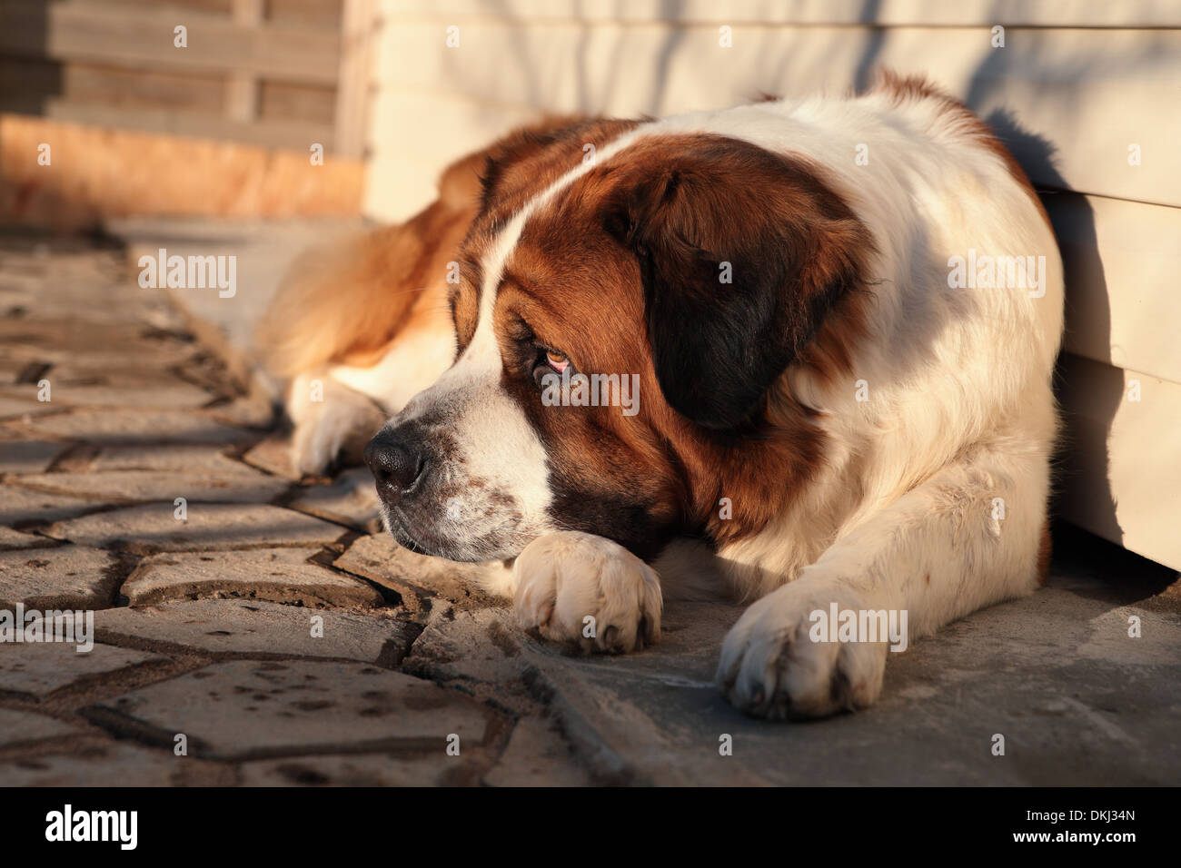 A large dog protects its territory - Stock Image