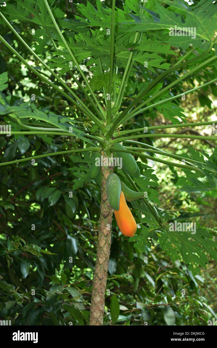 Papaya Baum, Taman Negara Nationalpark, Penang, Malaysia - Stock Image