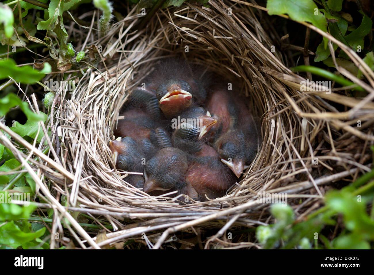baby birds sparrow nest fledglings nest egg chicks - Stock Image