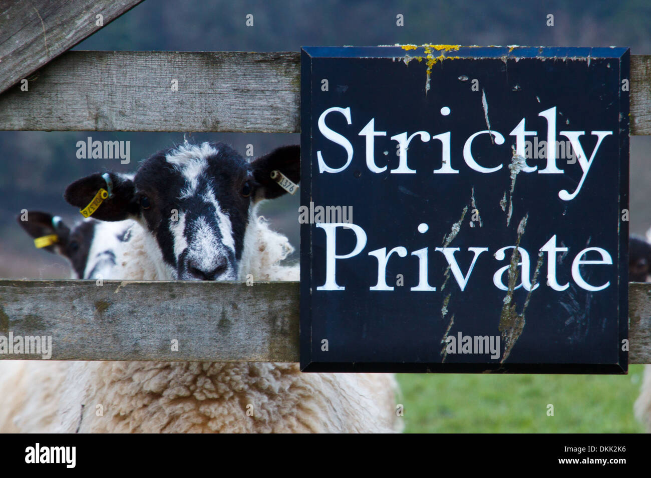 Strictly Private Members Only Sheep - Stock Image