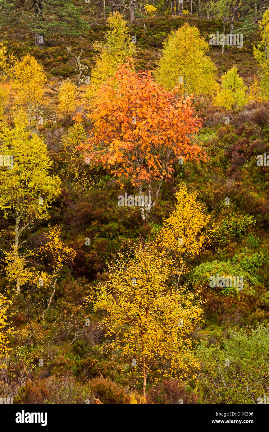 Glen Affric, autumn colours from the River Affric Trail, Scottish Highlands - Stock Image