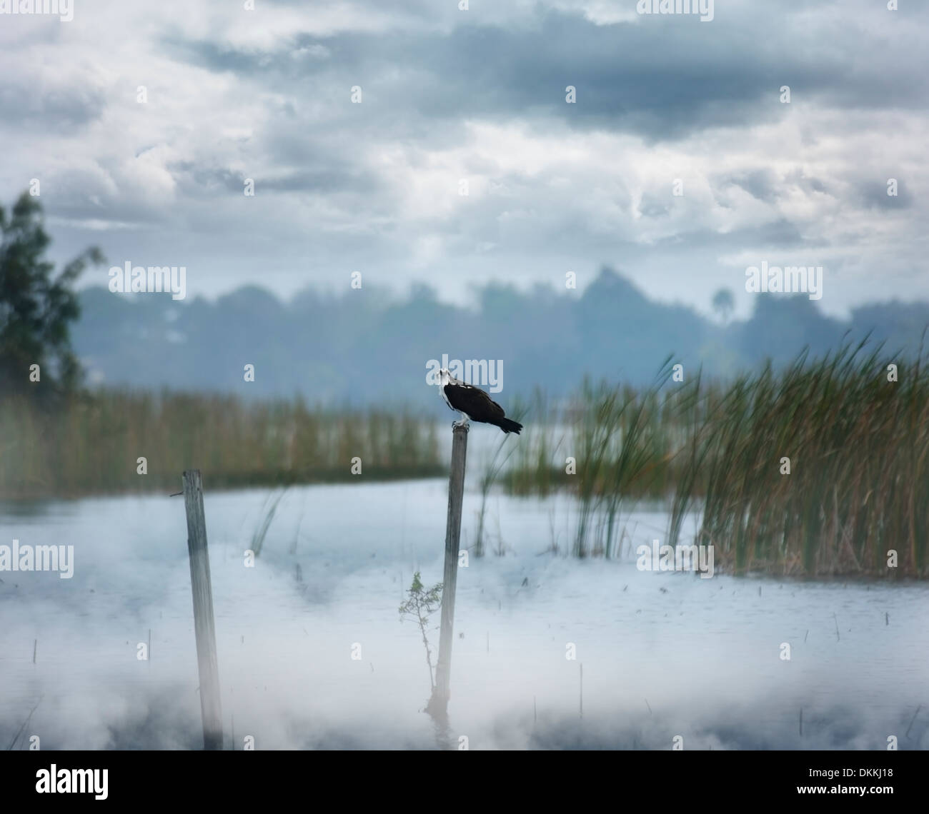 Hawk Perching On A Log At Foggy Morning - Stock Image