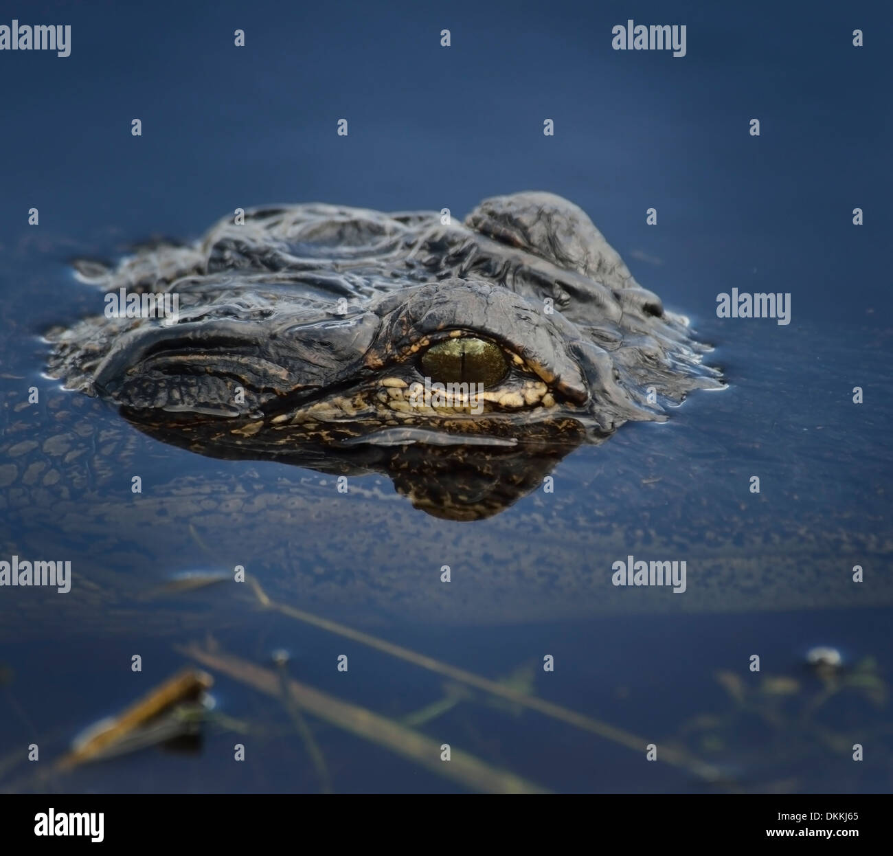 Alligator Head In The Water ,Close Up - Stock Image