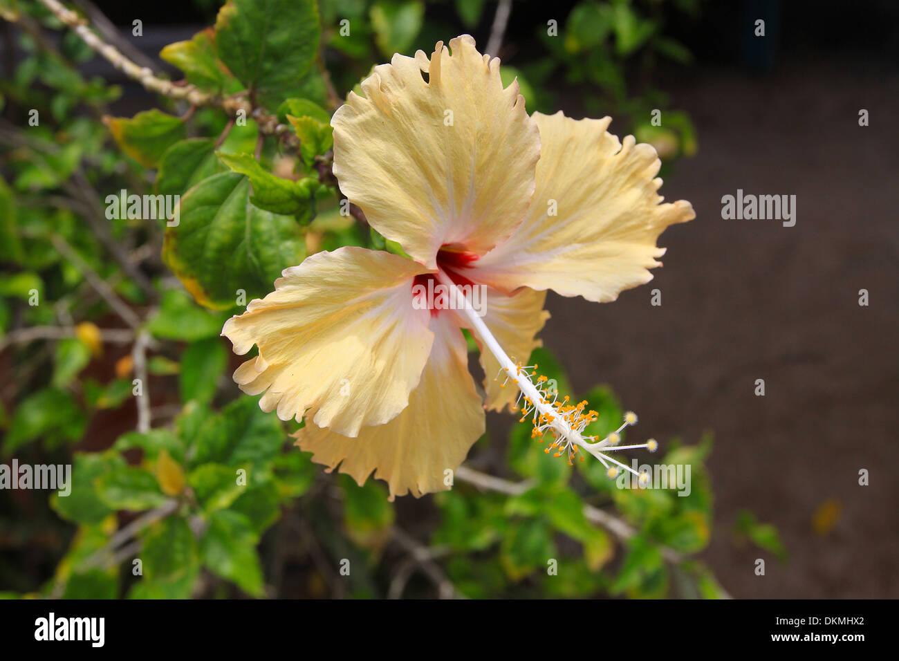 Hibiscus Yellow Stock Photos Hibiscus Yellow Stock Images Alamy