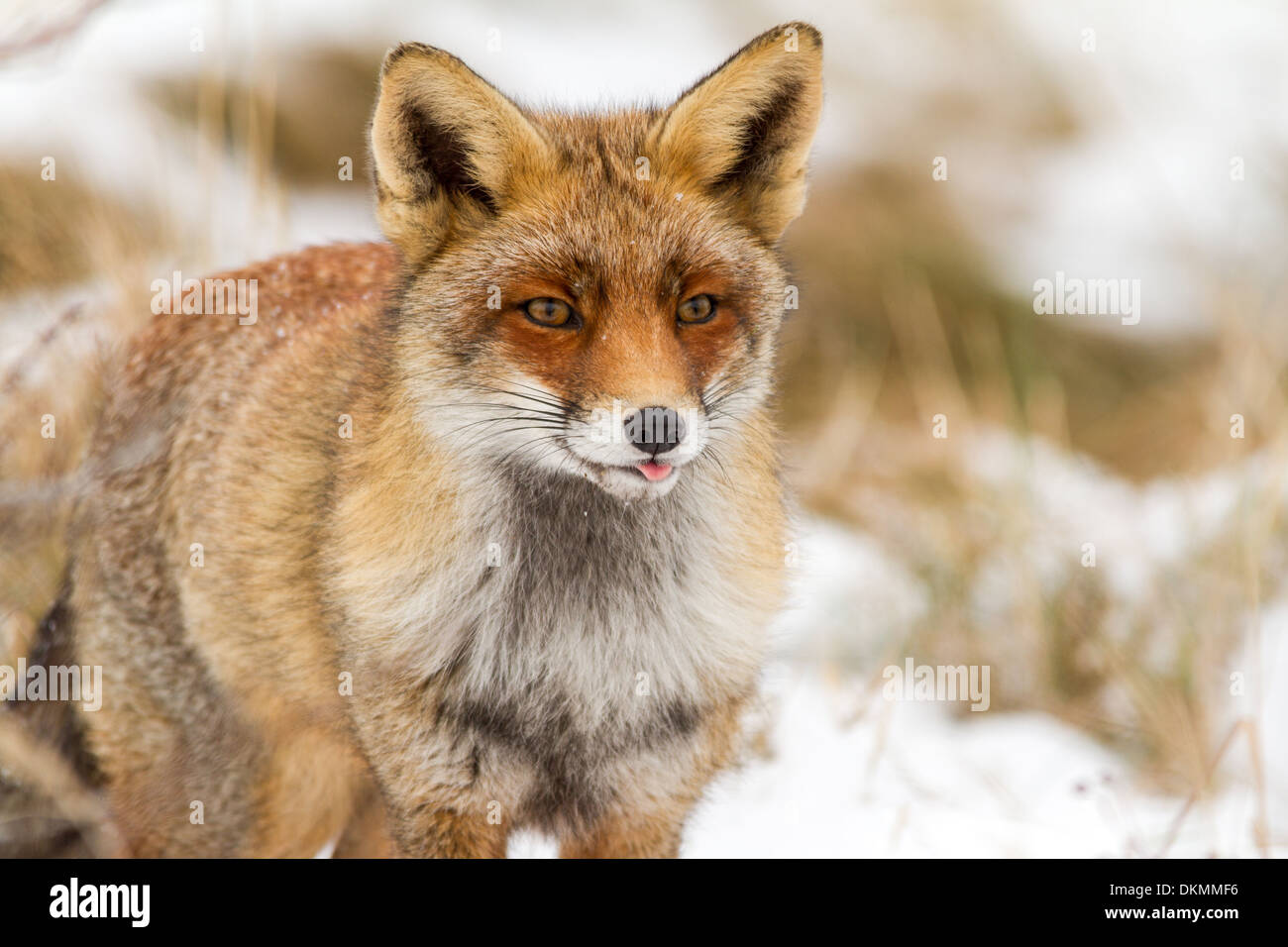 Fox is a common name for many species of alert omnivorous