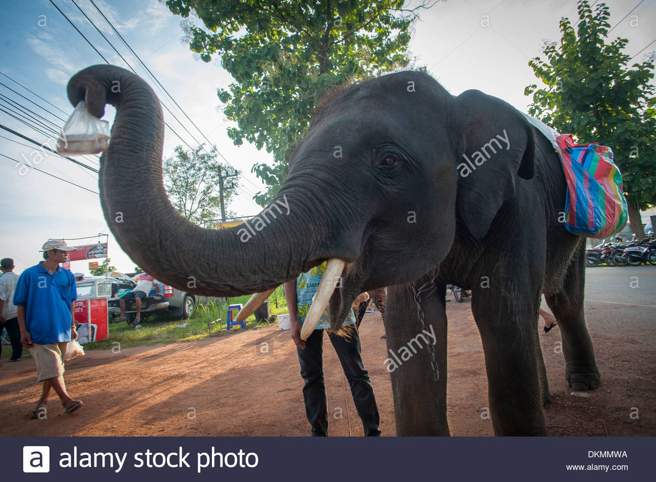 Street Beggar Elephants at Uttarardit Night Market, Thailand. Offering sugar kane for sale to be then fed back to the elephant. - Stock Image