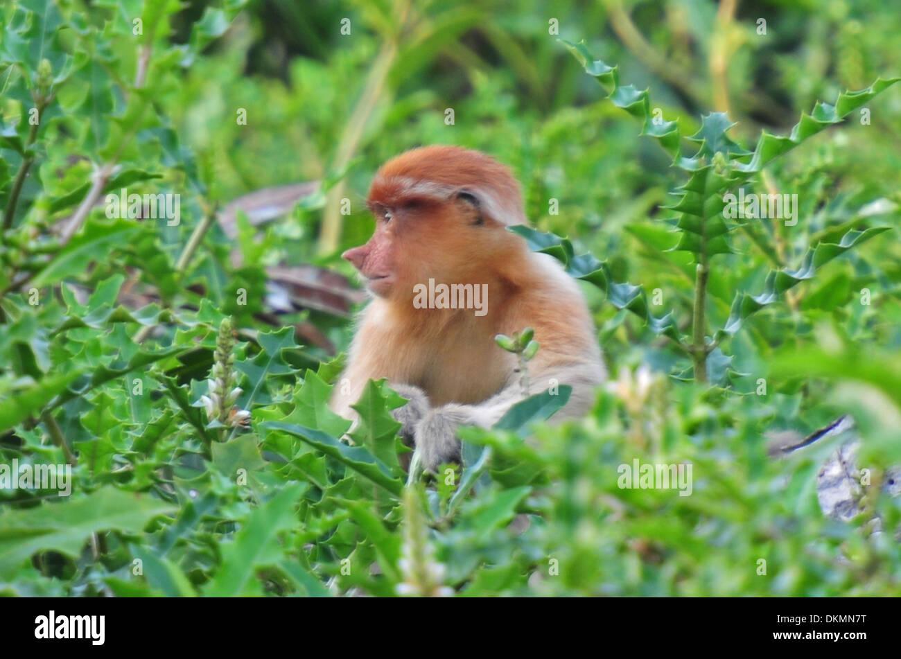 Proboscis monkey (Nasalis larvatus) - Brunei - Stock Image