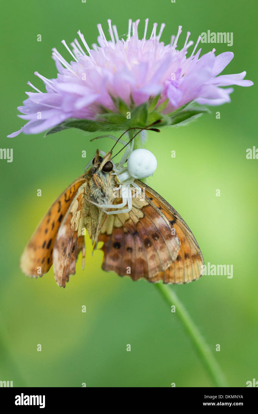 A Marbled Fritillary butterfly (Brenthis daphne) is captured and killed by a white crab spider laying ambush under a flower - Stock Image
