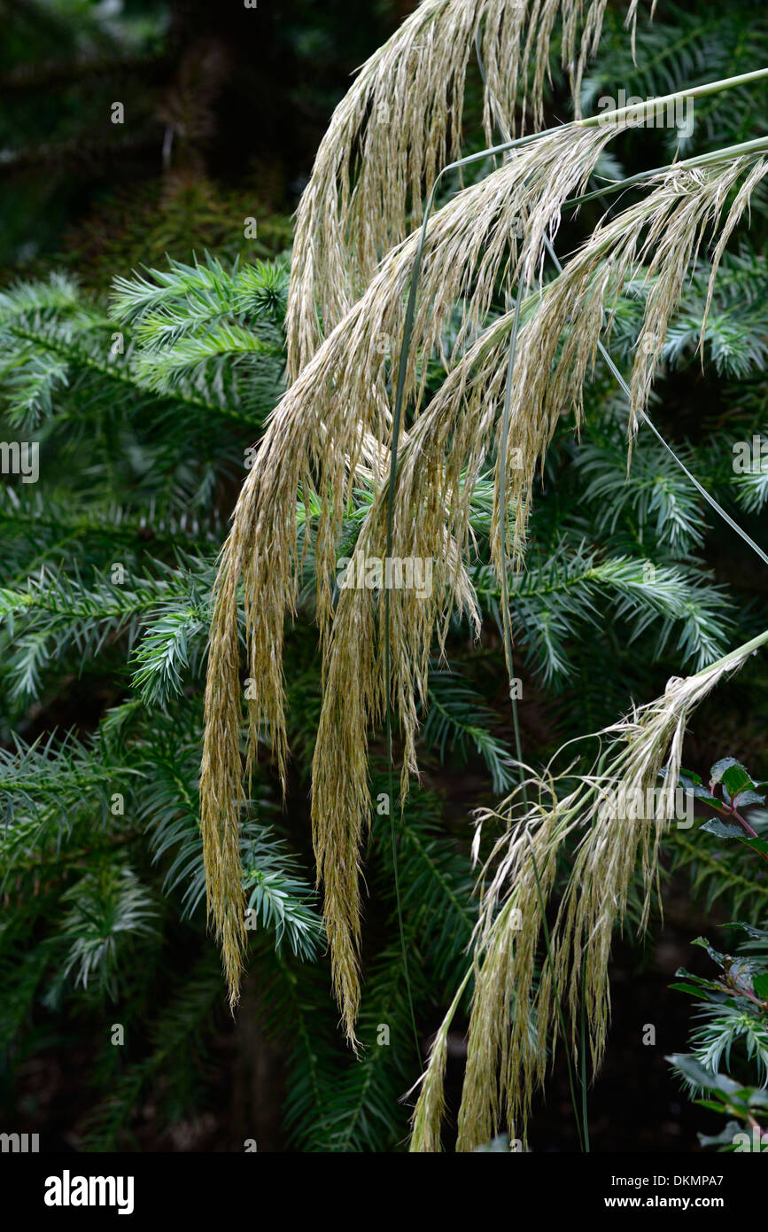 cortaderia richardii grass pampas grass plume toe toe mixed border scheme ornamental grasses - Stock Image