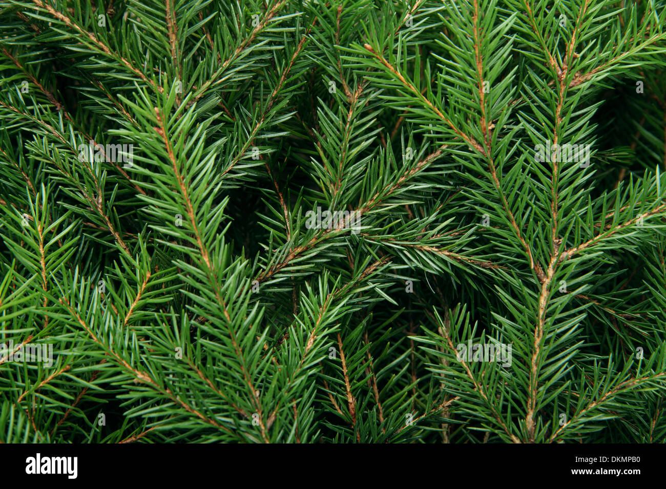 background of christmas tree branches stock image - Christmas Tree Branches