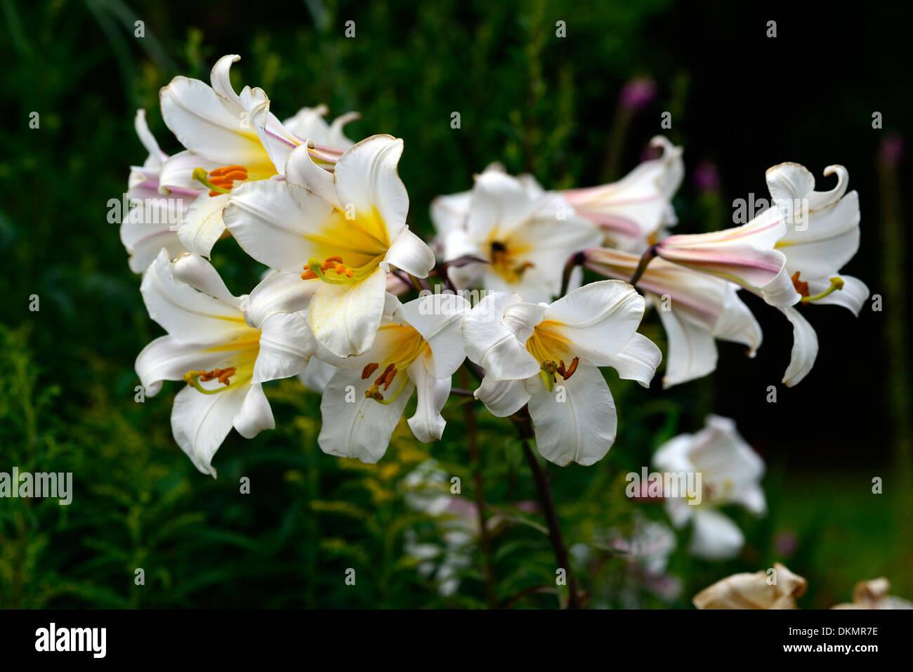Lilium regale regal lily lilies white flowers flowering blooms stock lilium regale regal lily lilies white flowers flowering blooms scented scents fragrant fragrance summer perennial bulb izmirmasajfo
