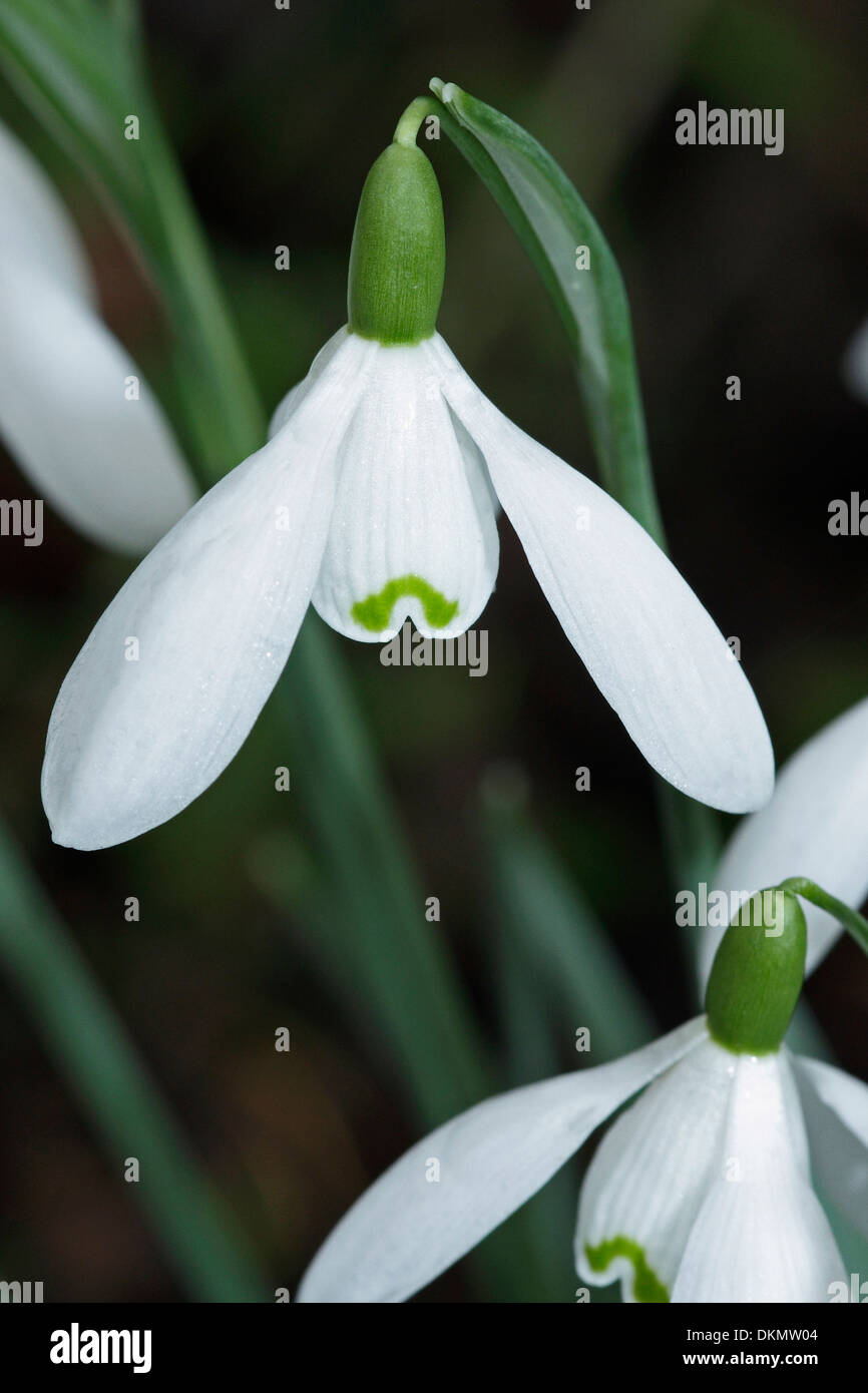 A close-up study of a Wild Snowdrop ( Galanthus nivalis). Stock Photo