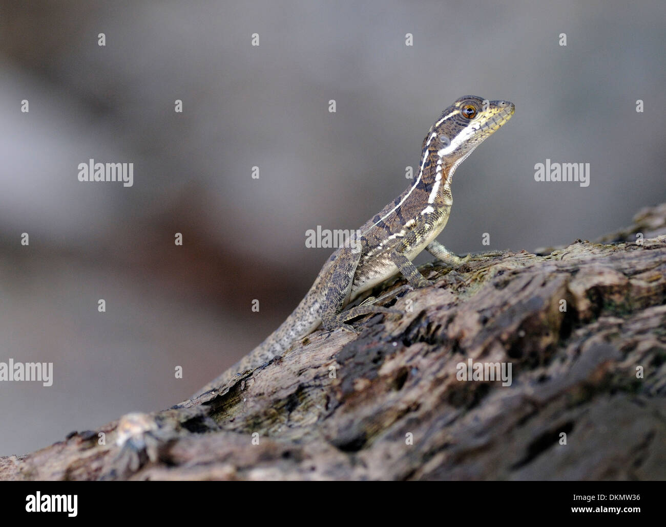 A lizard on driftwood on the beach of Isla del Cano, Drake Bay, Corcovado National Park, Golfito, Costa Rica. - Stock Image