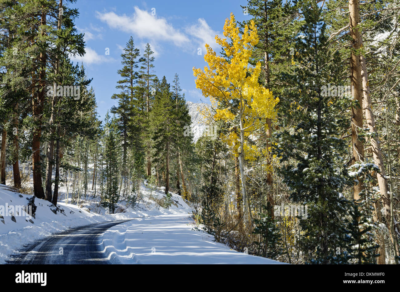one golden aspen tree along a snowy road with pine trees in the fall - Stock Image