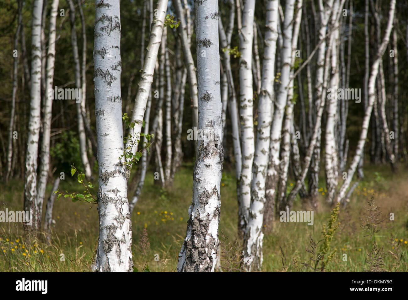 Birch forest / Betula - Stock Image